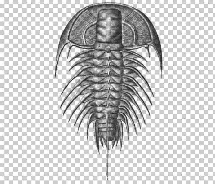 Fossil clipart invertebrate. Olenellus marine invertebrates cambrian