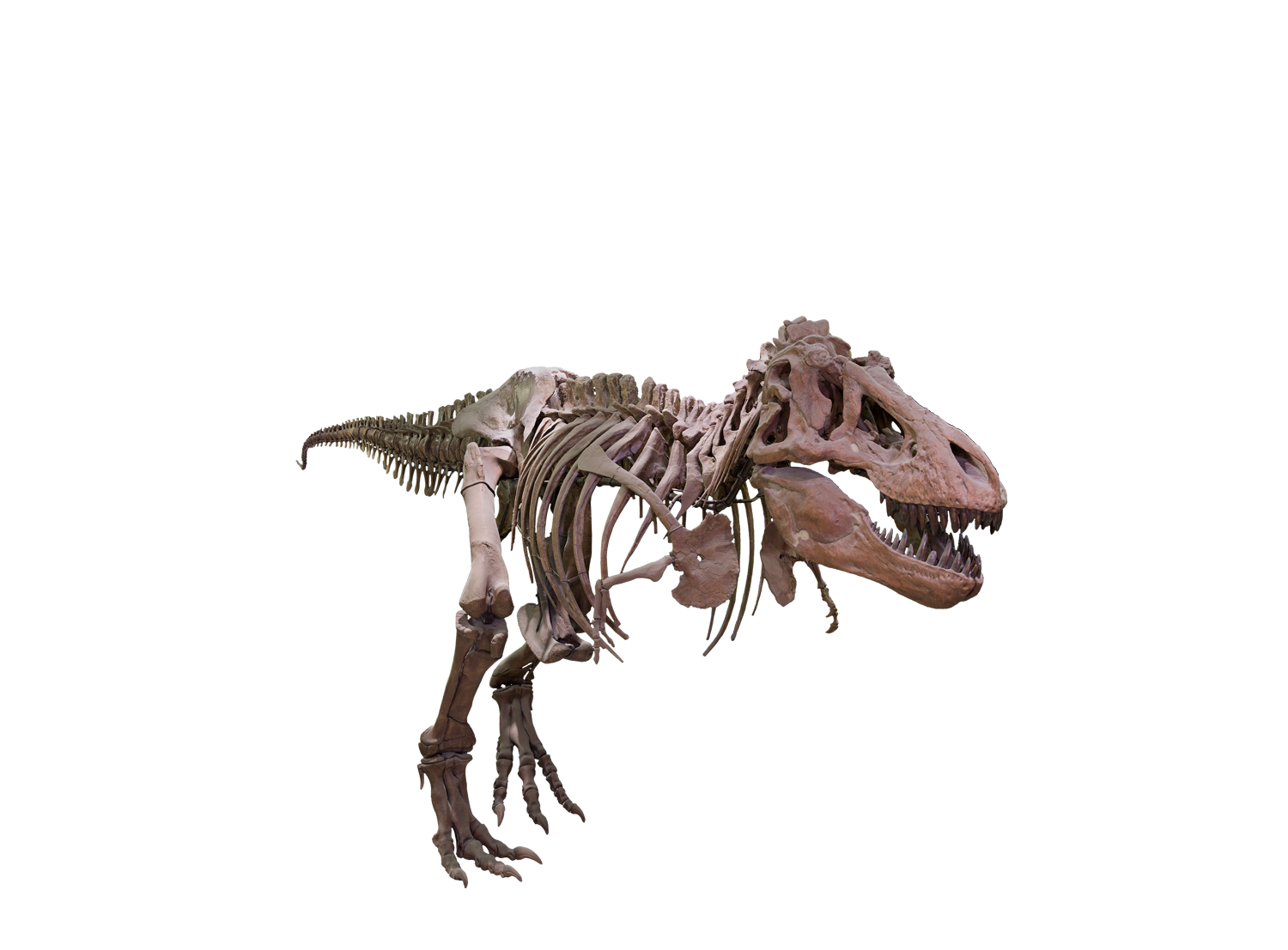 T rex png background. Skeleton clipart trex