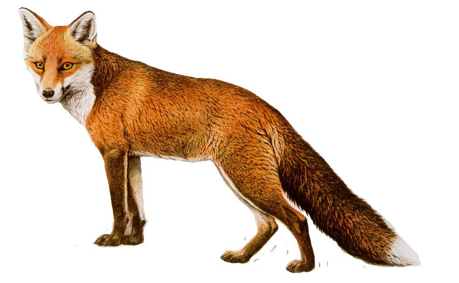 Png . Fox clipart bat eared fox