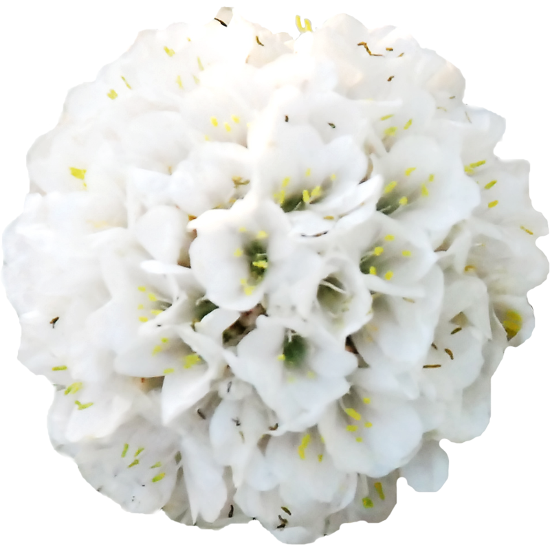 Hydrangea clipart high resolution. Spring is there flower