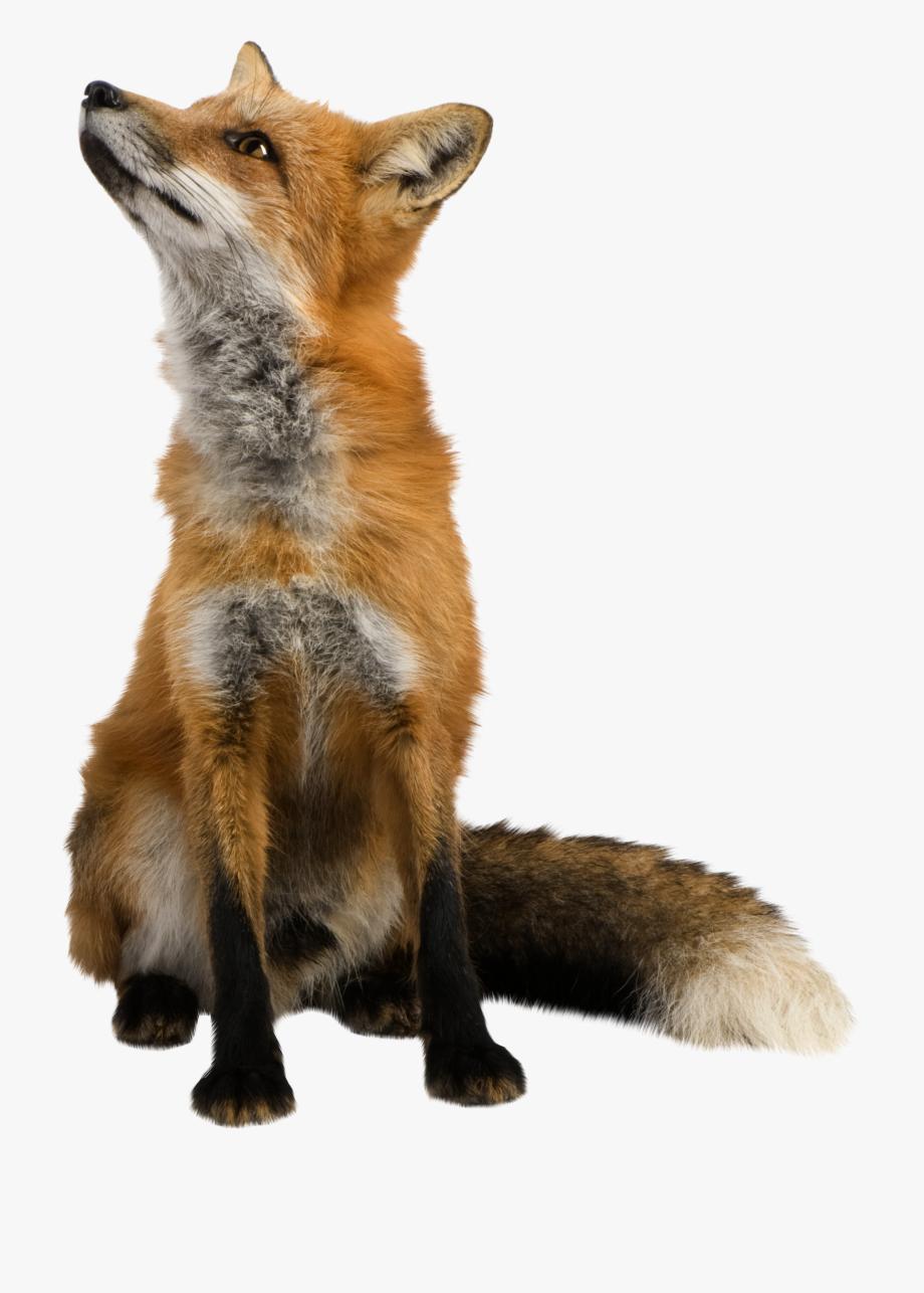 Png cliparts cartoons jing. Fox clipart realistic