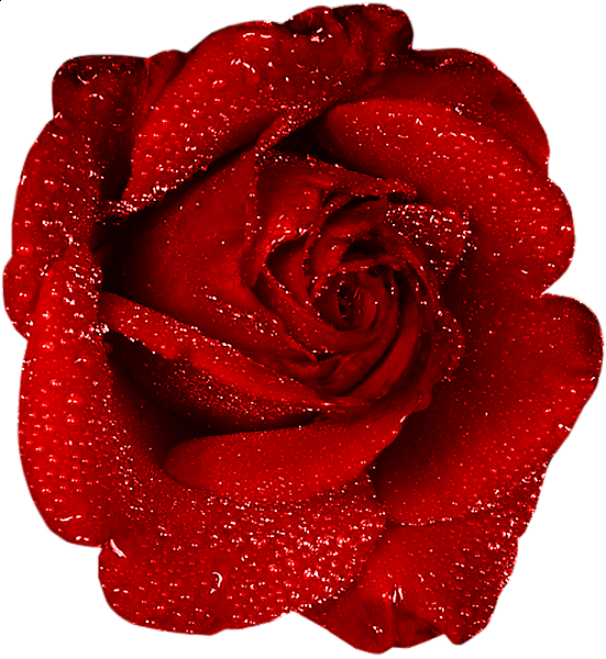 Rose with dew pinterest. France clipart red