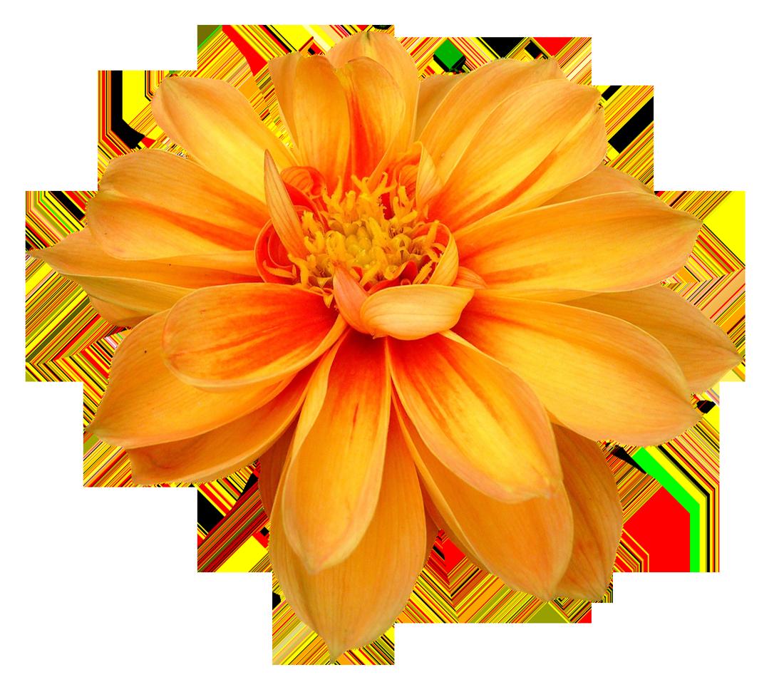 Dahlia image purepng transparent. Free flower png