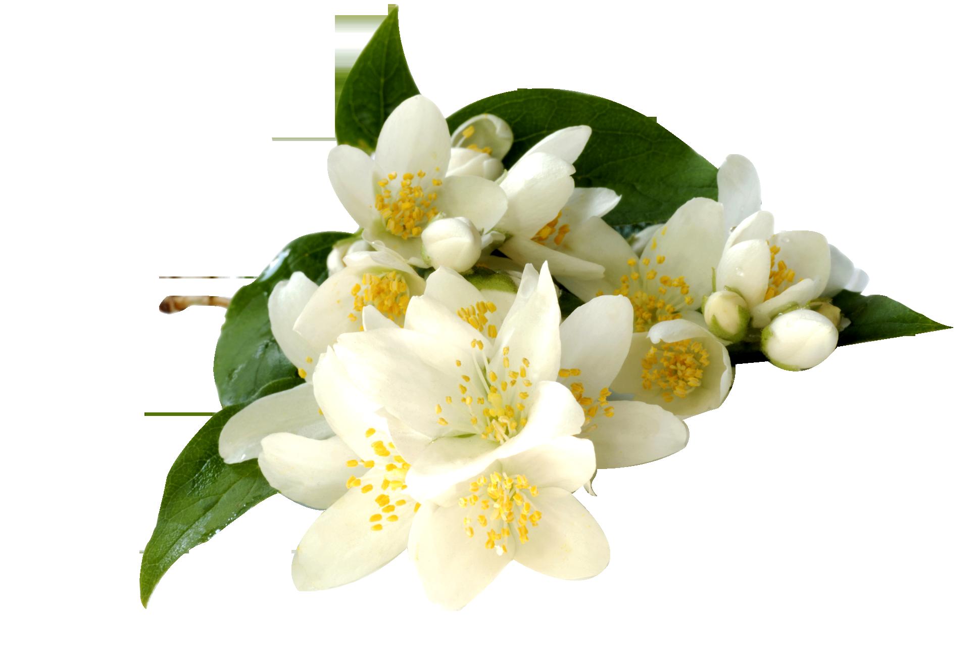 Free flower png. Jasmine images download