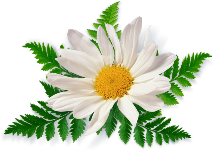 Free flower png. Camomile image picture download