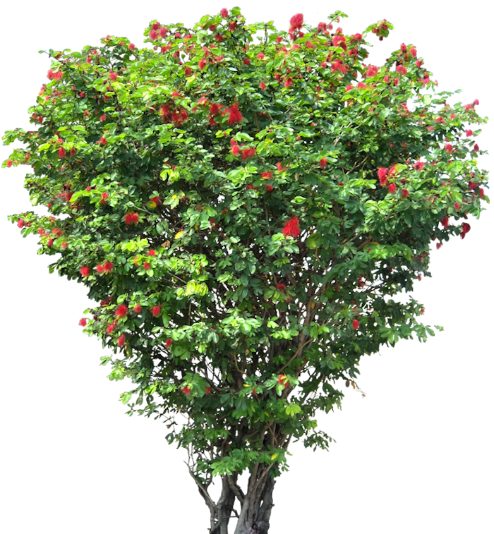 Free png images for photoshop.  tree caliandrahl plants