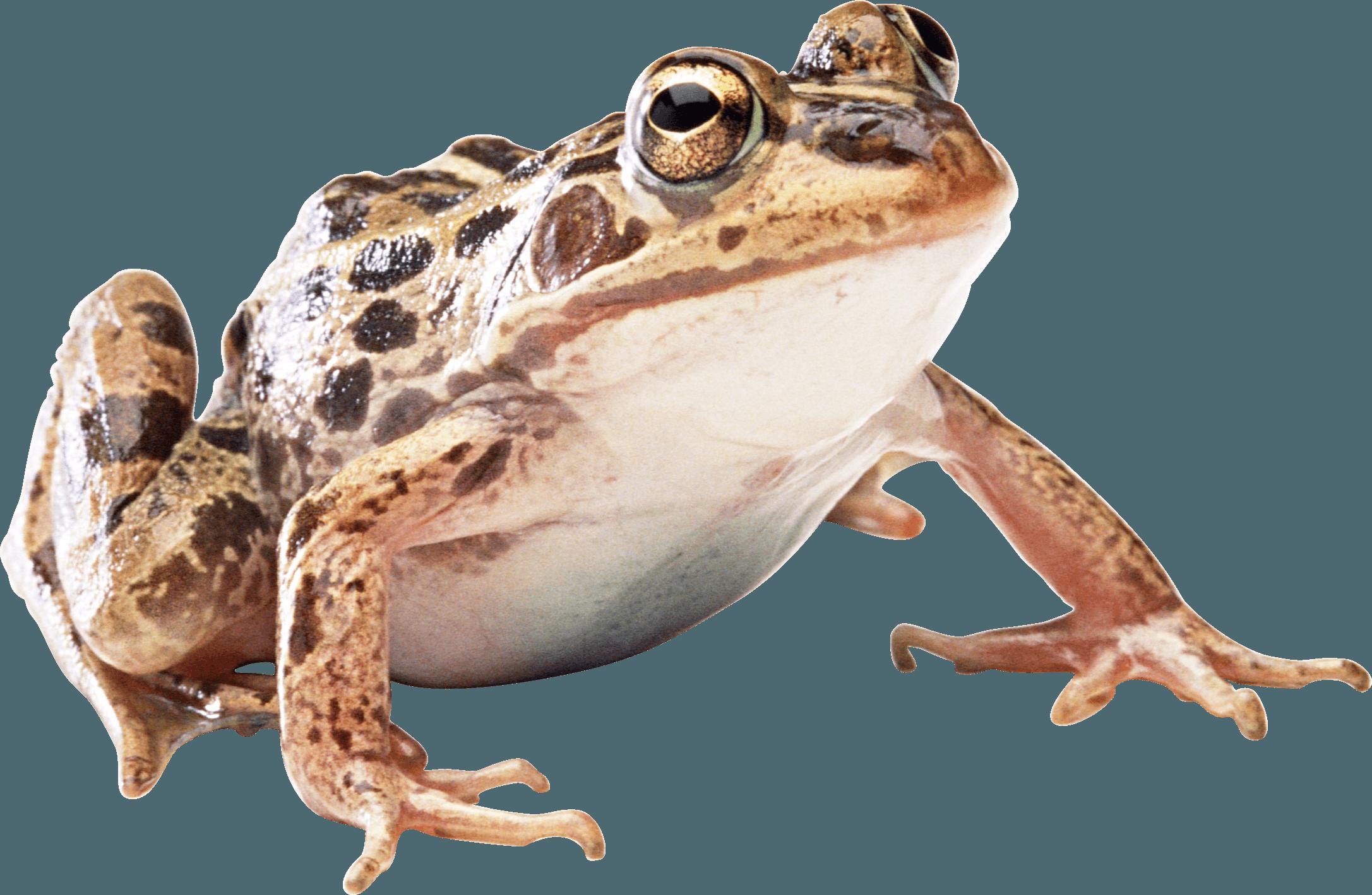 Frog clipart bullfrog. Brown toad png image