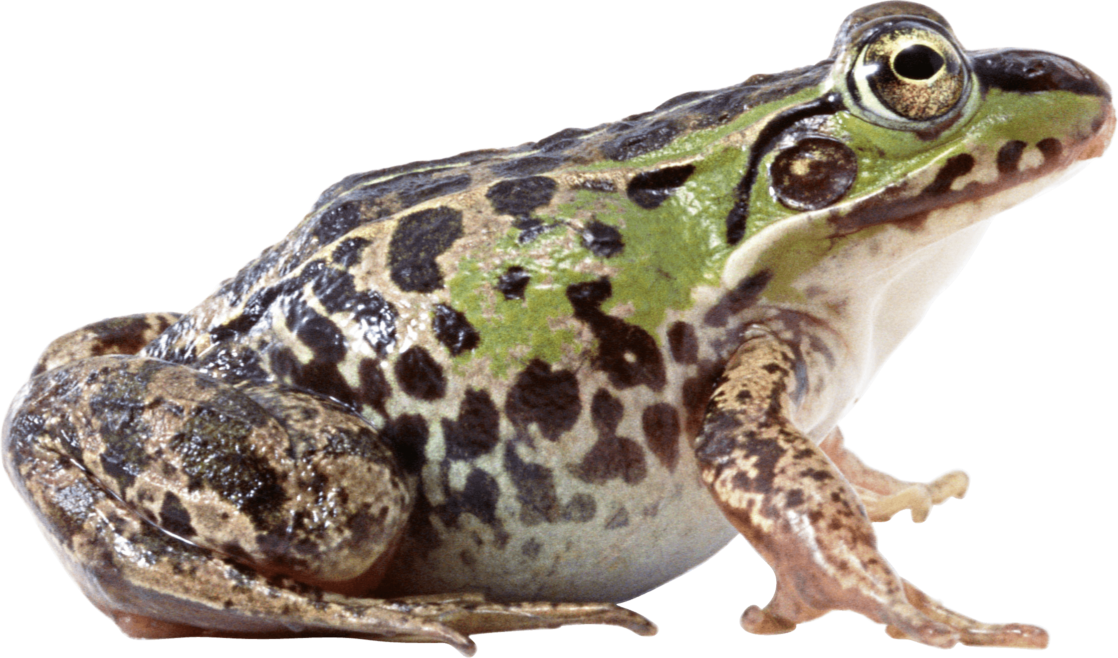Frog clipart file. Png frogs free transparent