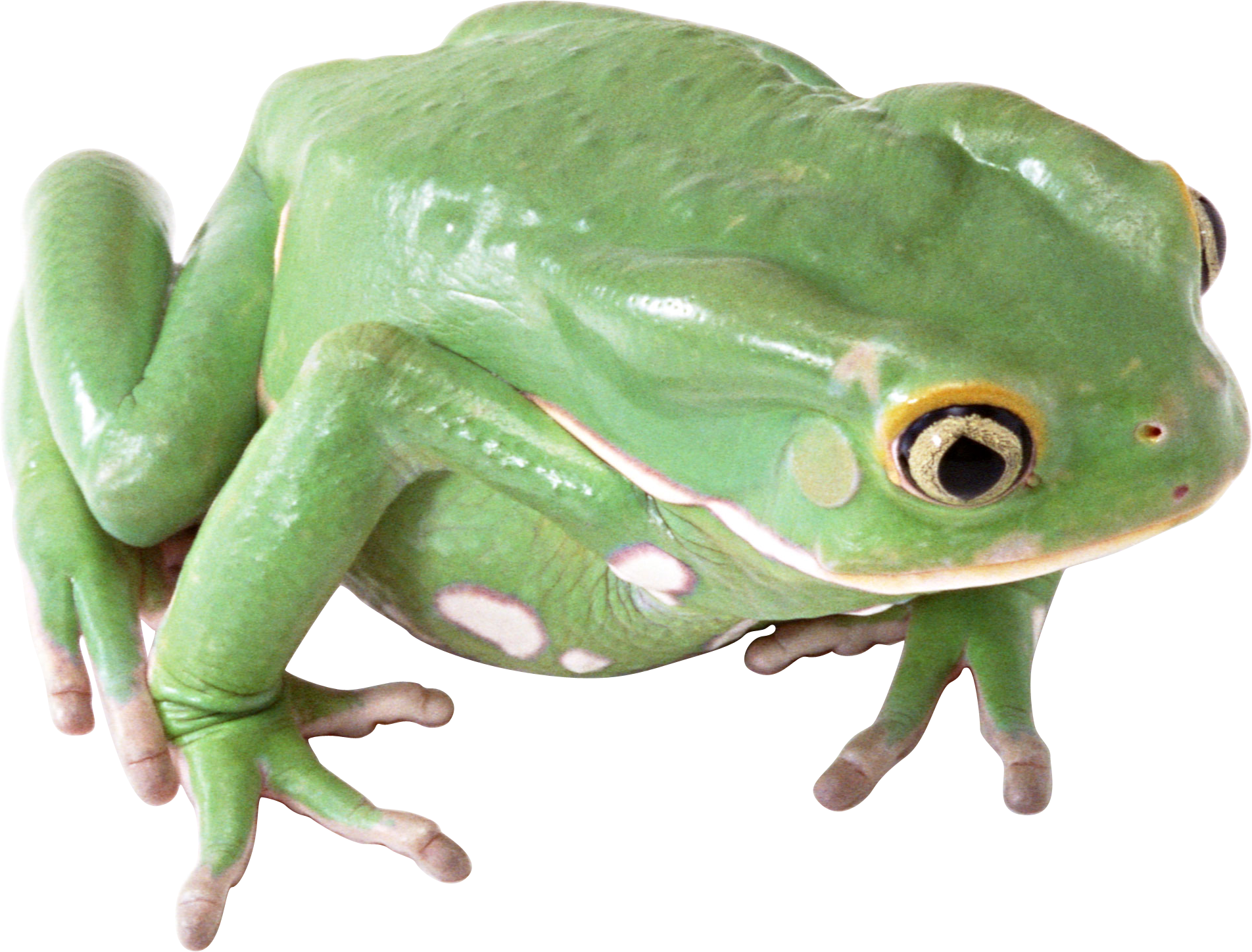 Thirteen isolated stock photo. Toad clipart glass frog