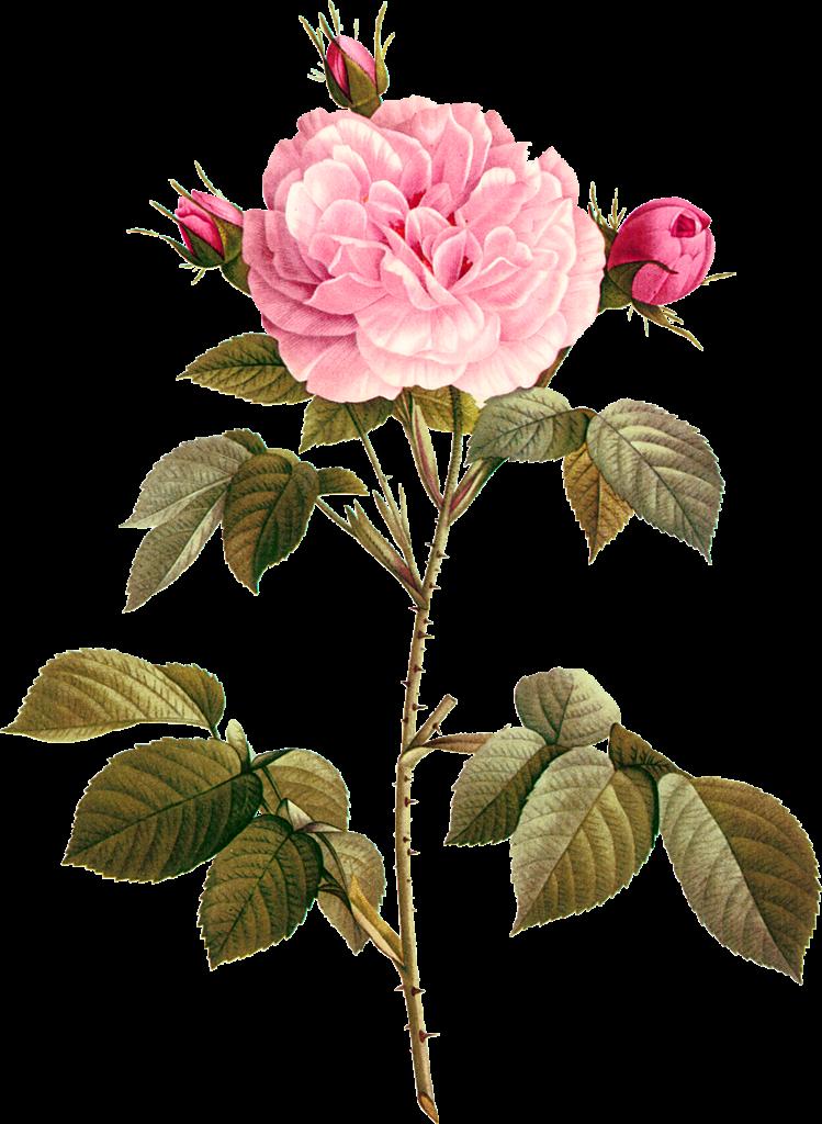 Flower rose figure in. Fruit clipart ati