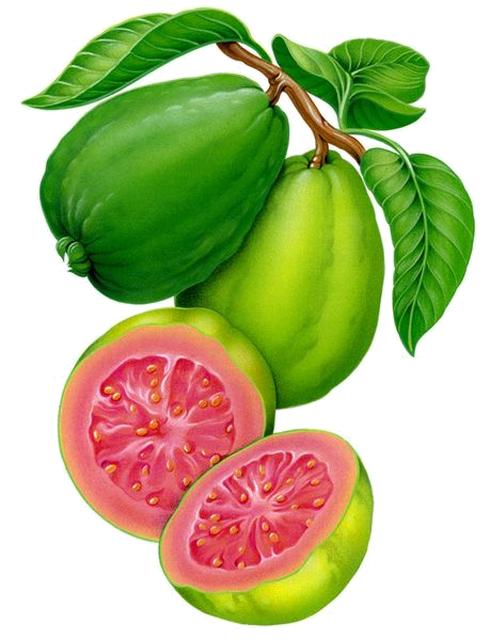 Guayaba dcbd c png. Fruits clipart vector