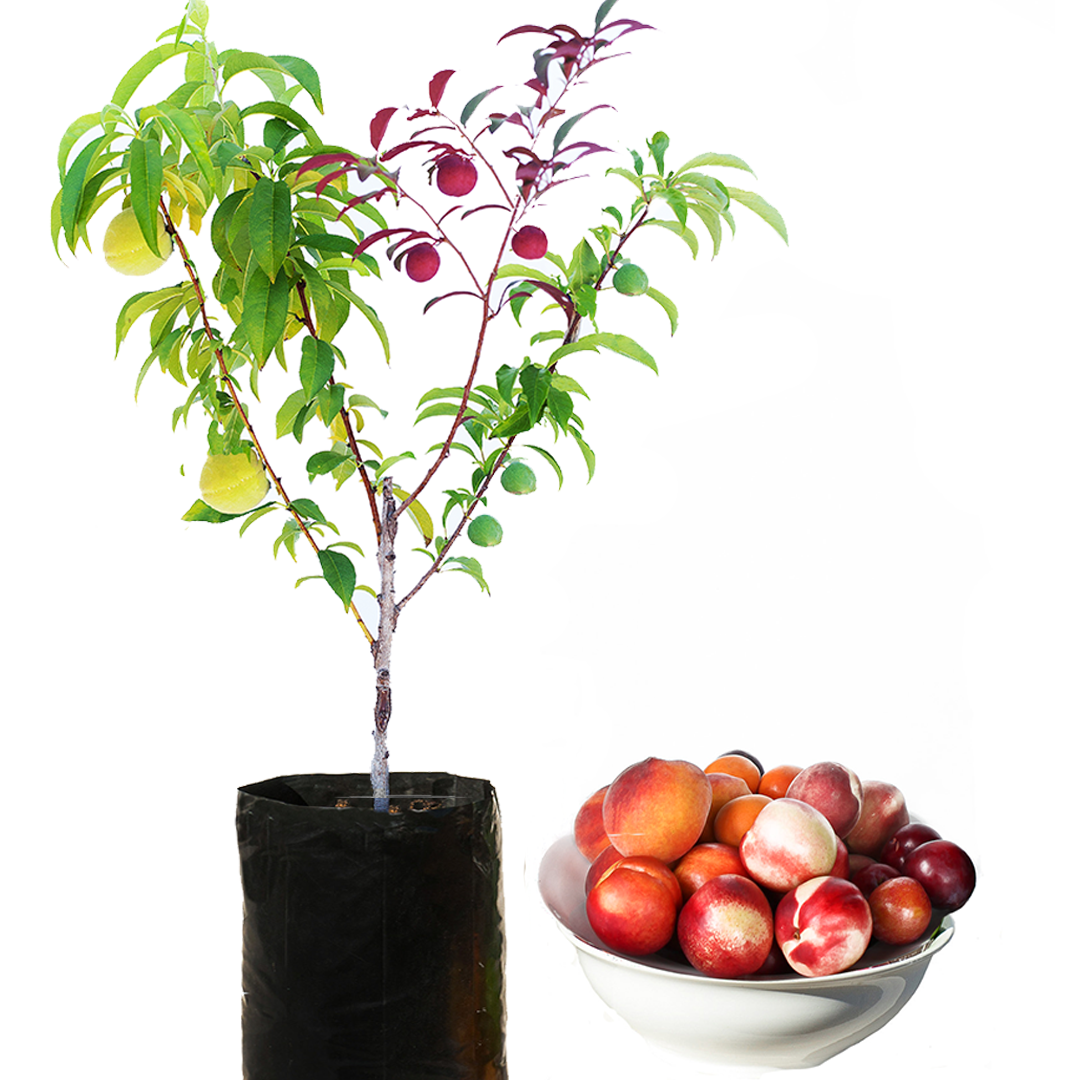 Choose from our tree. Fruits clipart mixed fruit