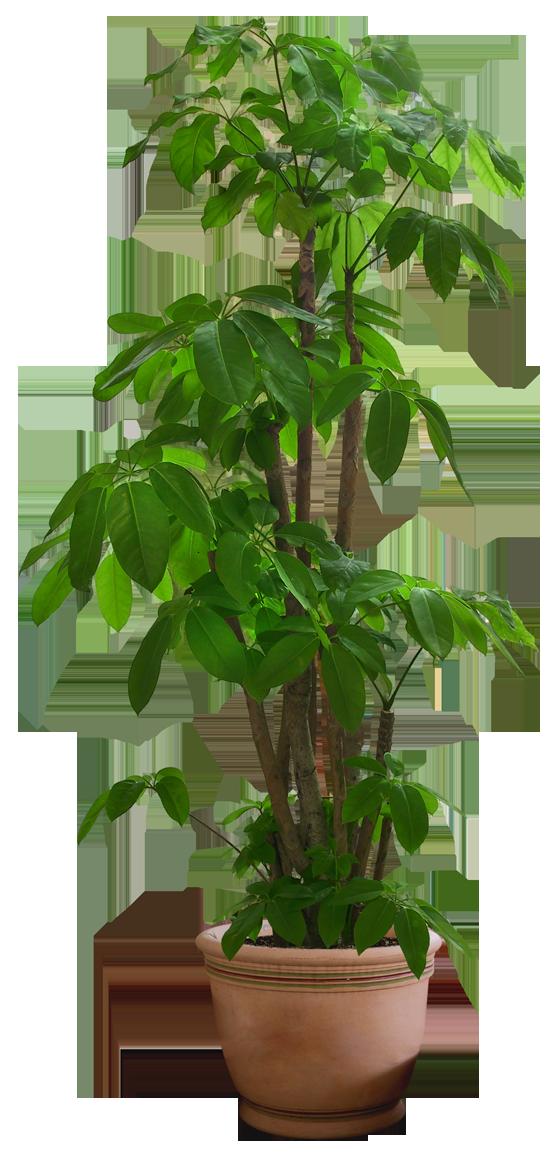 Free download drzewa pinterest. House plant png