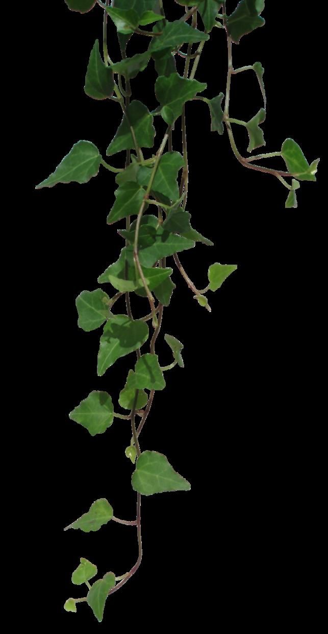 Ivy by black b. Vines clipart poison oak