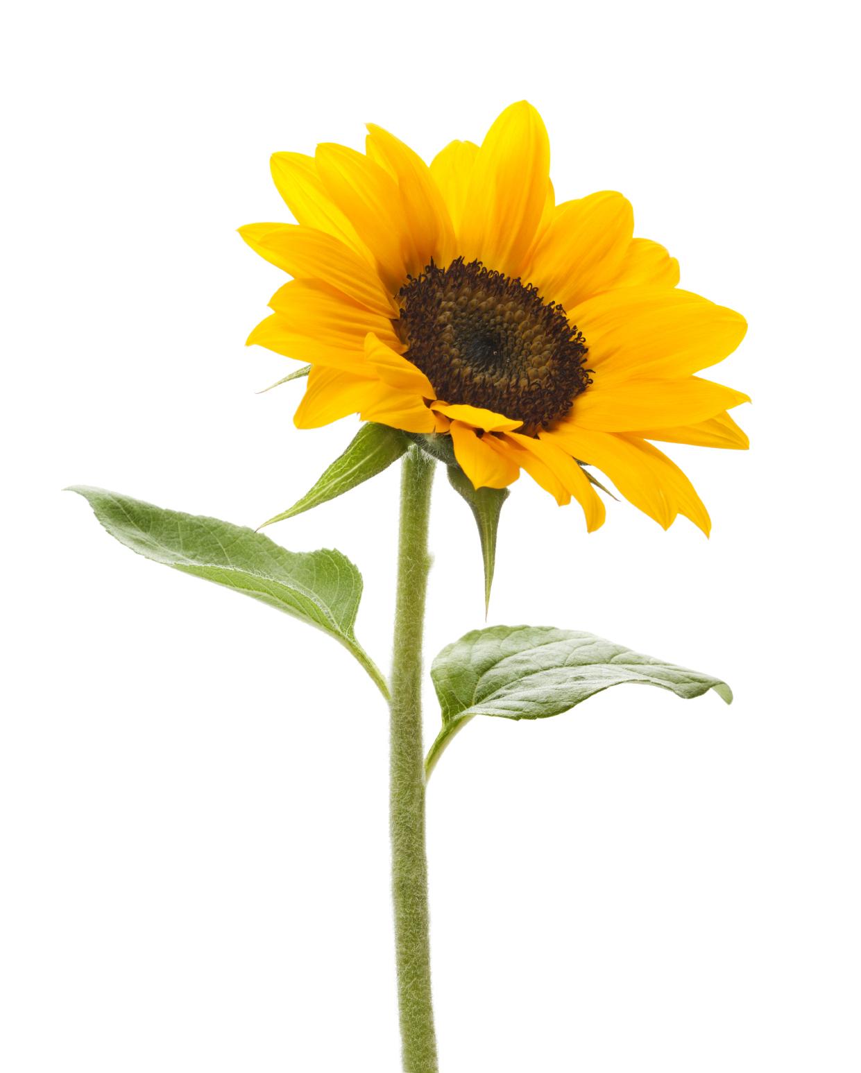 Treasure garden pinterest sunflowers. Gardening clipart tall sunflower