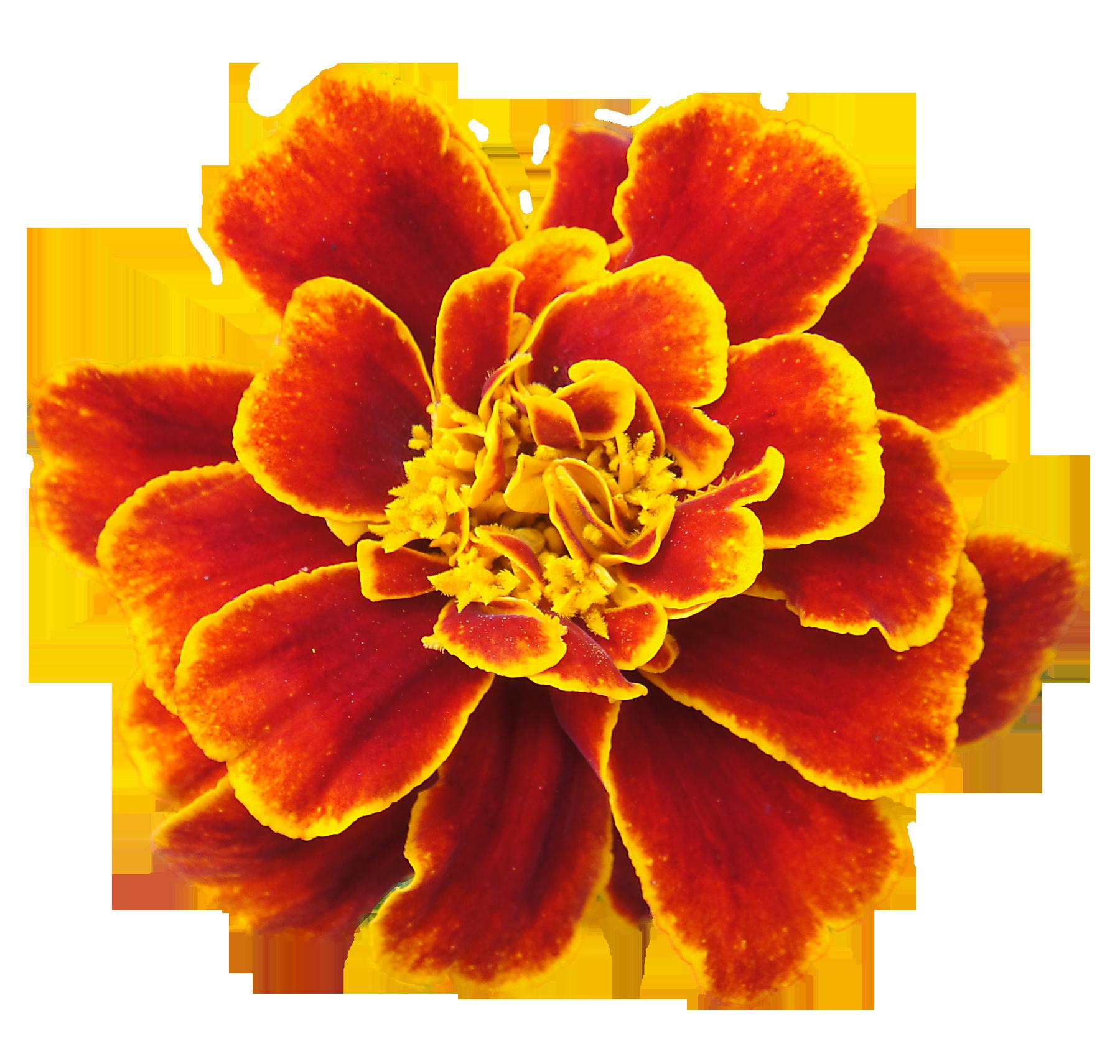 Garland clipart marigold. French clip art
