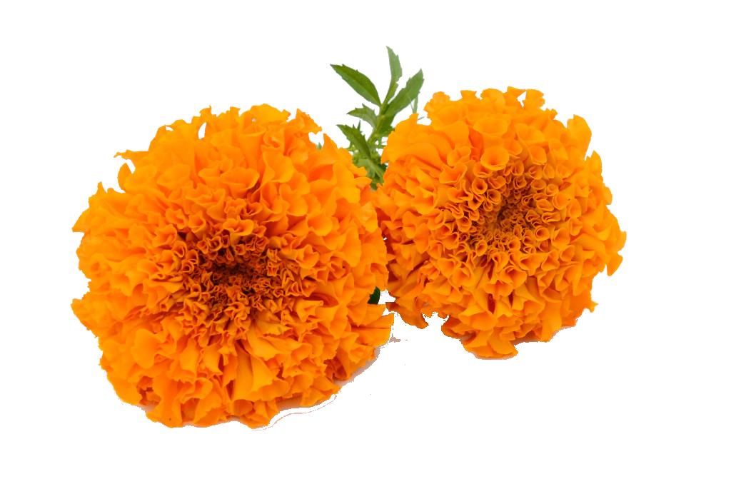 Garland clipart marigold. Png hd mart
