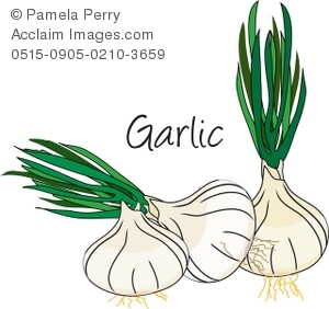 Clip art illustration of. Garlic clipart