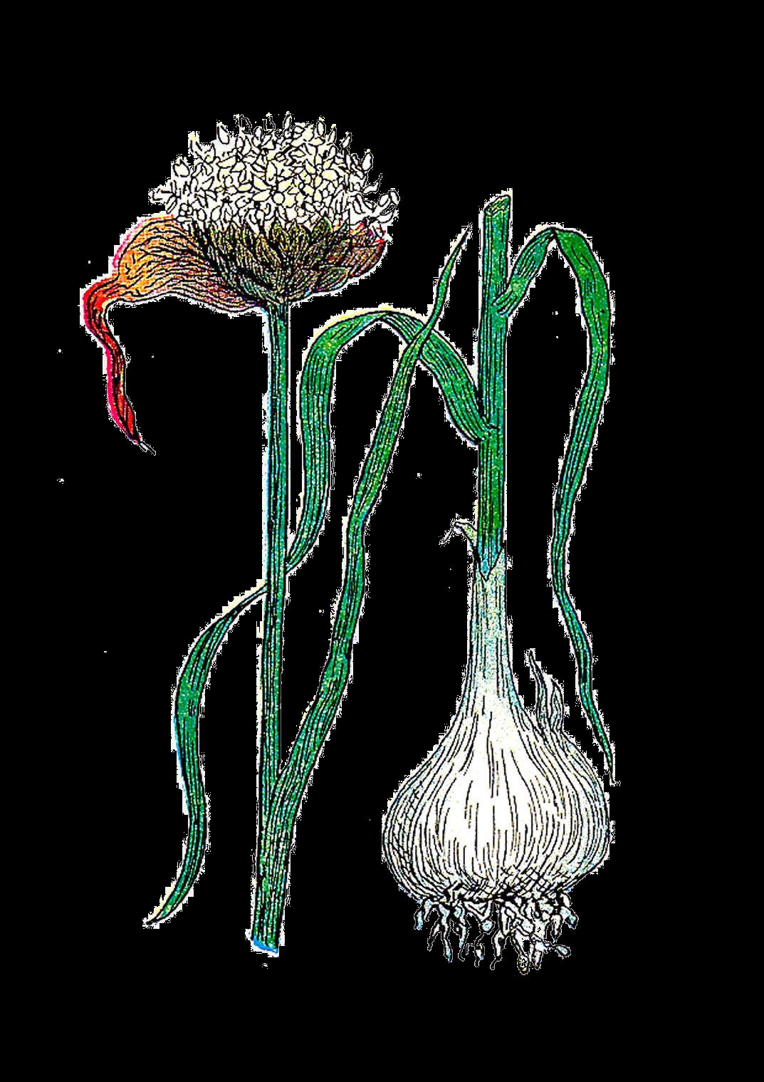 Antique images free botanical. Garlic clipart garlic plant
