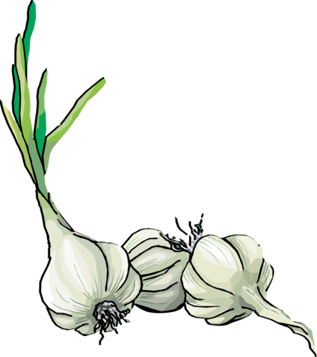 collection of drawing. Garlic clipart garlic plant