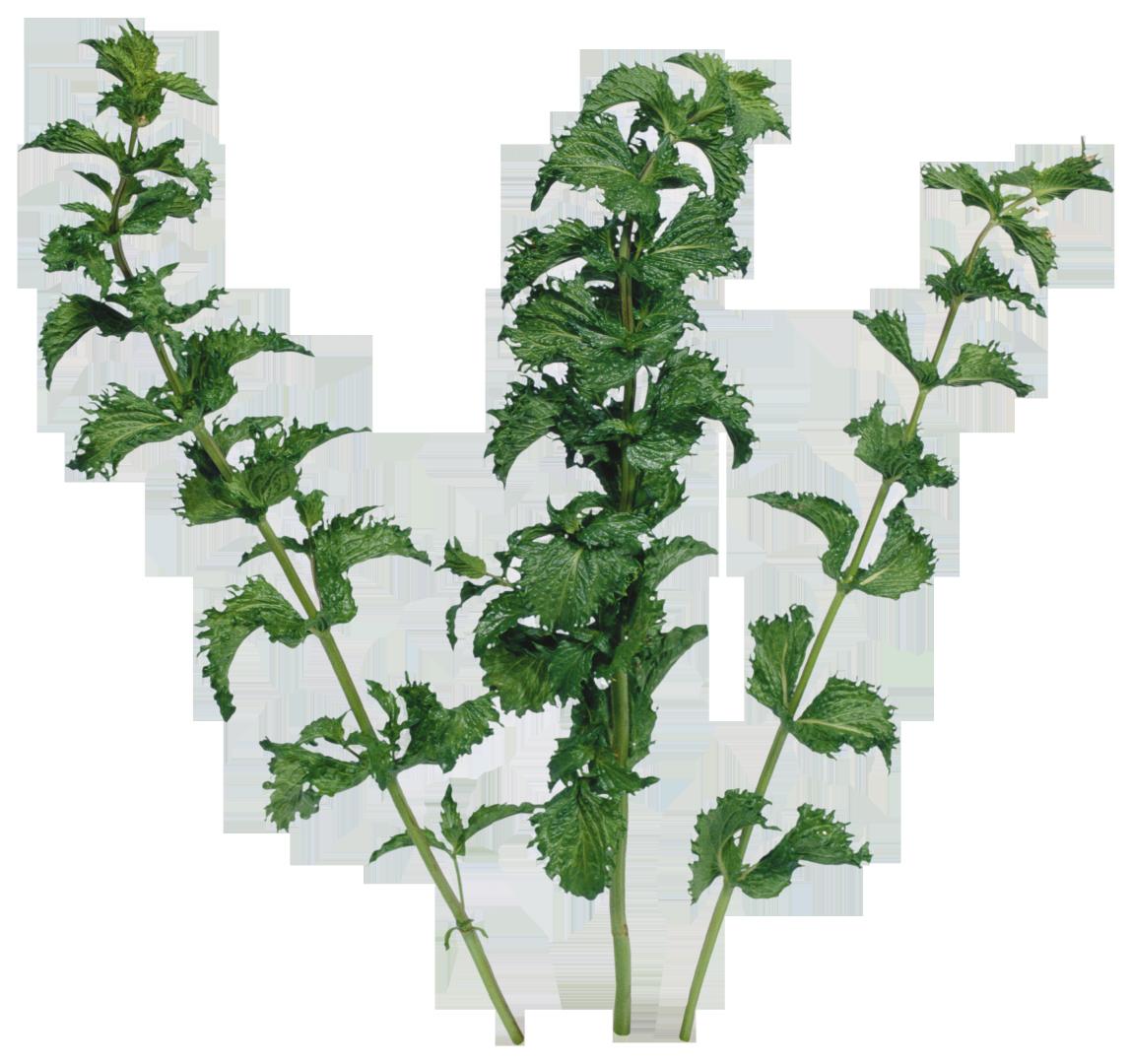 garlic clipart parsley