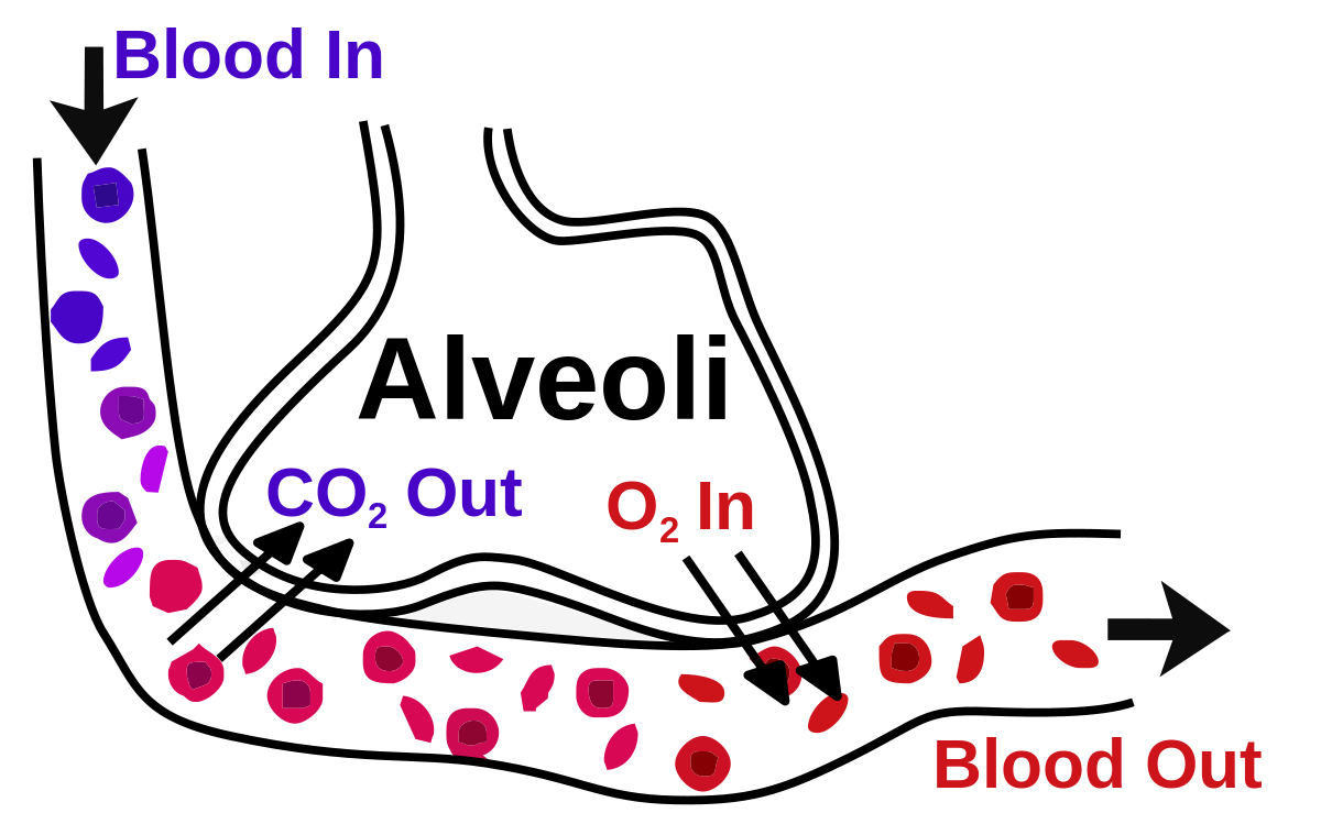 Blood air barrier wikipedia. Gas clipart law charles
