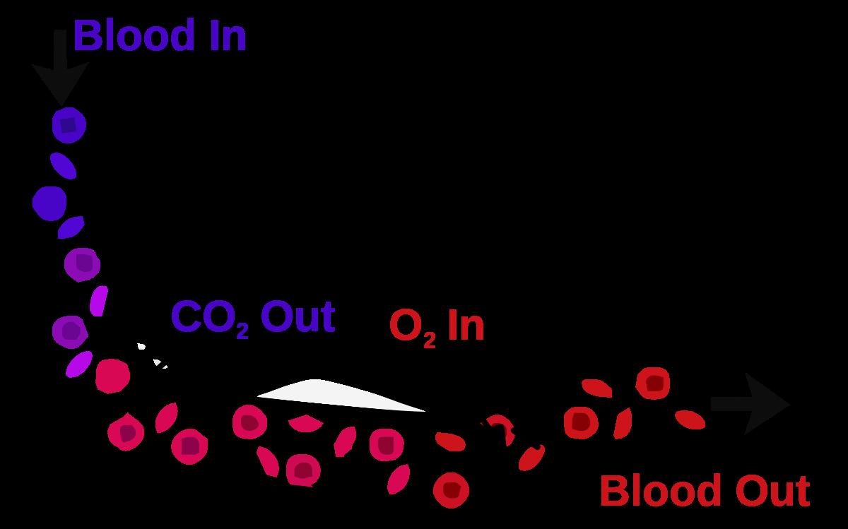 Lungs clipart pneumonia. Blood air barrier wikipedia