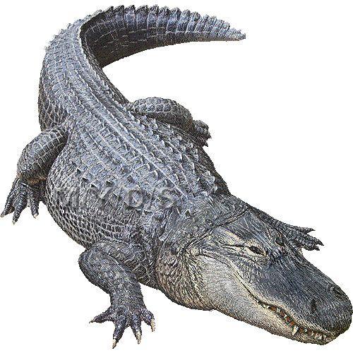 Gator clipart american alligator. Free pics