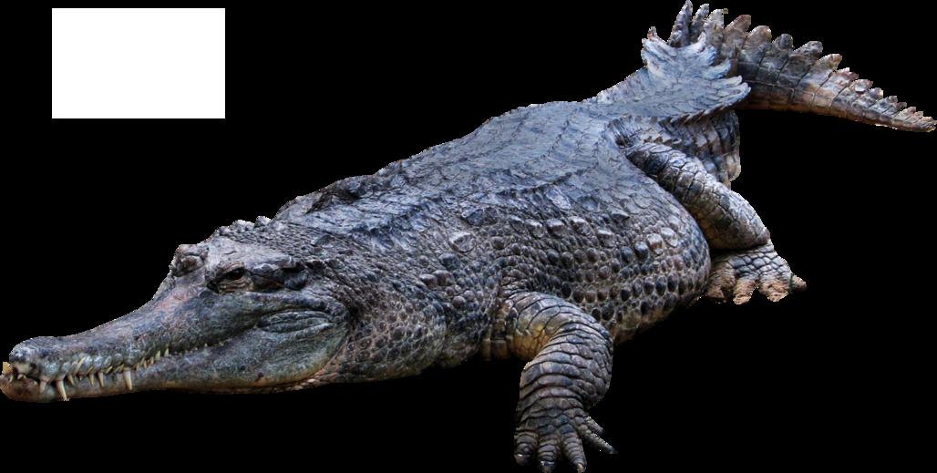 Gator clipart crocodile animal. Png web icons