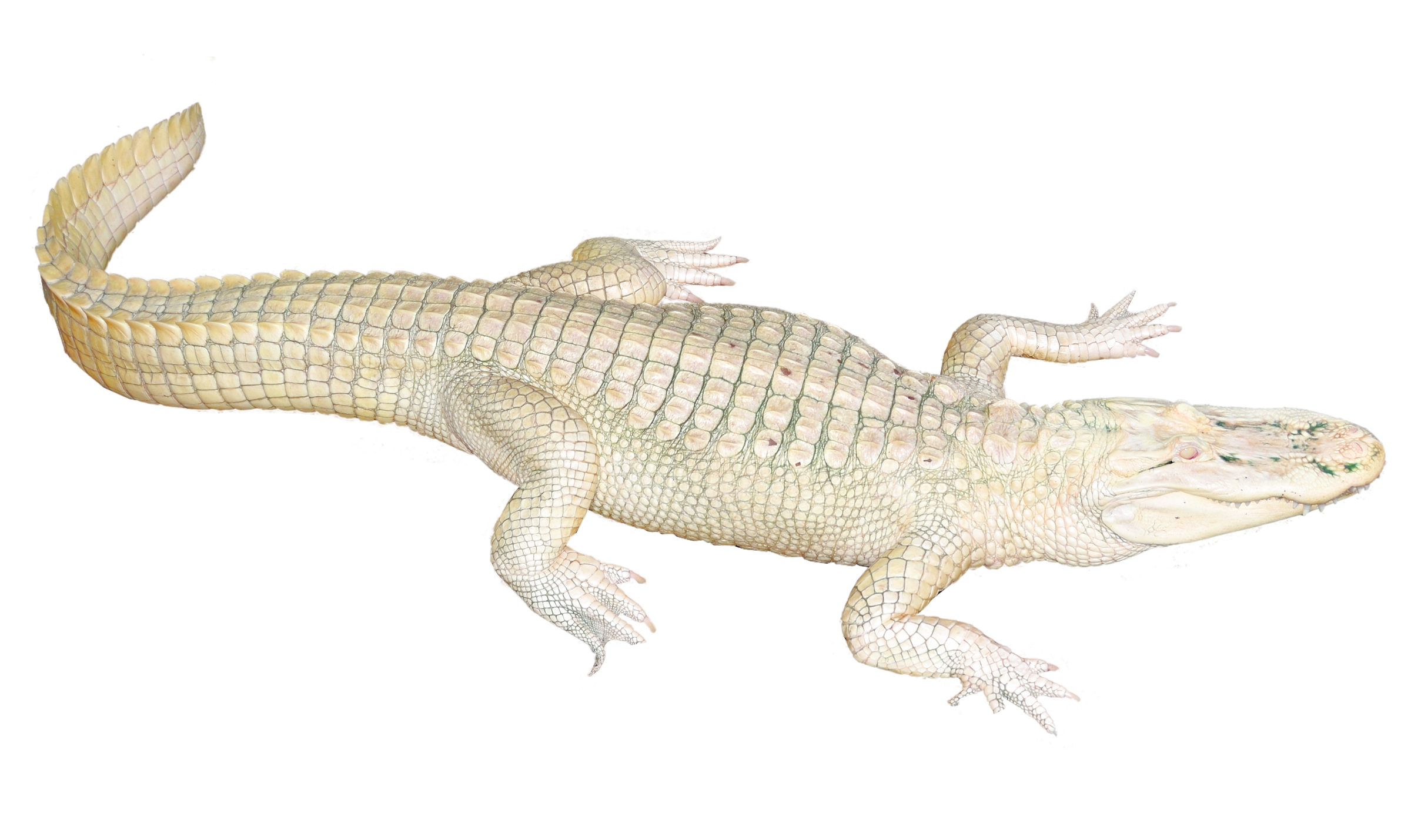 Gator crocodile tail