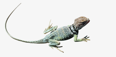 Crawling biological livestock png. Gecko clipart animal crawl