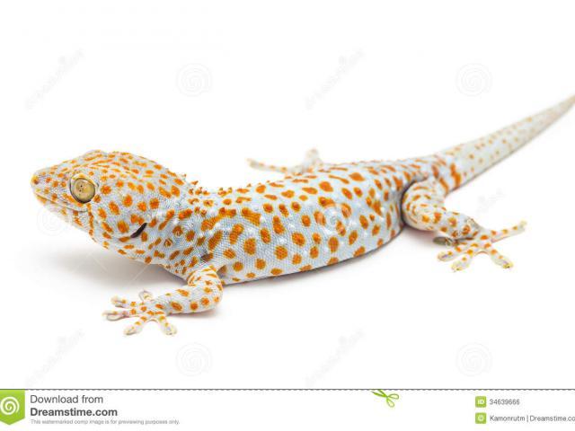 X free clip art. Gecko clipart gekko