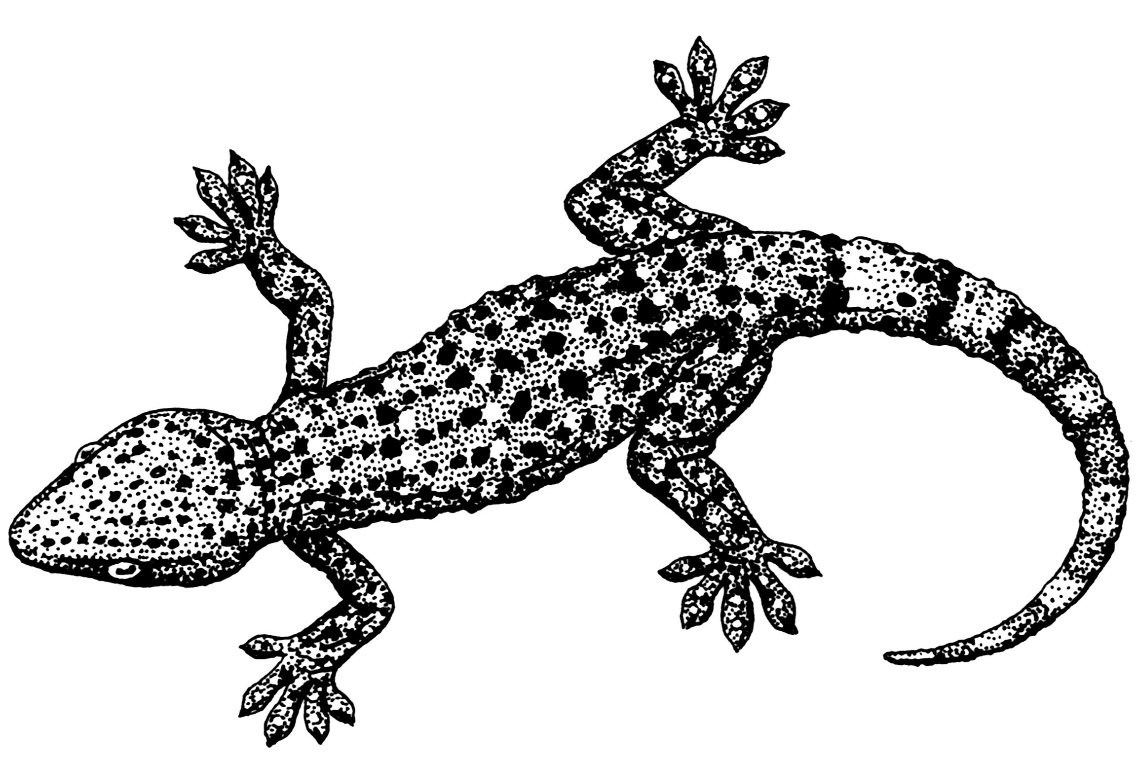 File psf png wikimedia. Gecko clipart gekko