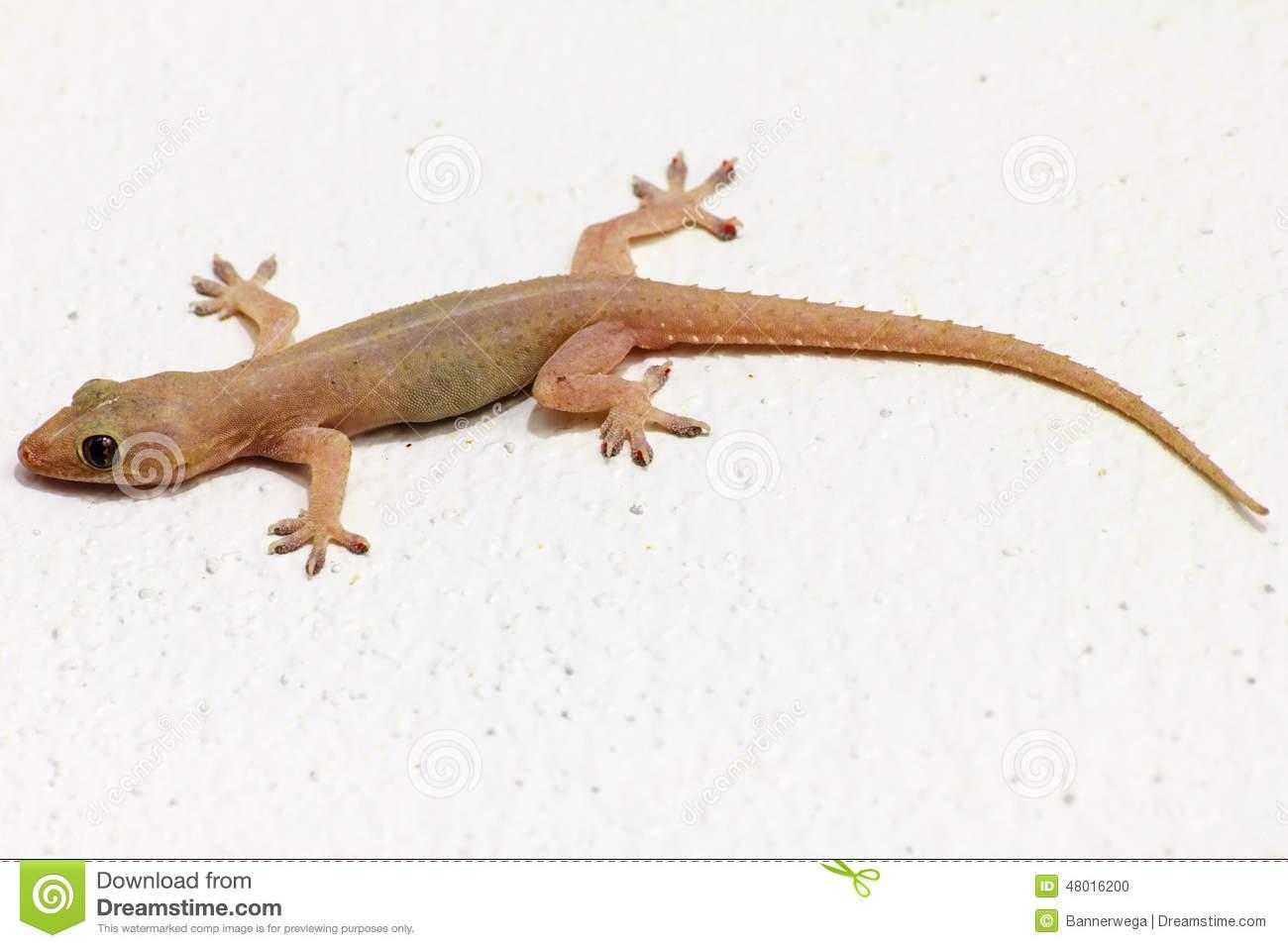 . Gecko clipart house lizard