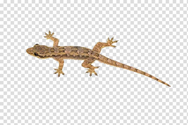 Gecko clipart house lizard. Brown illustration reptile geckos