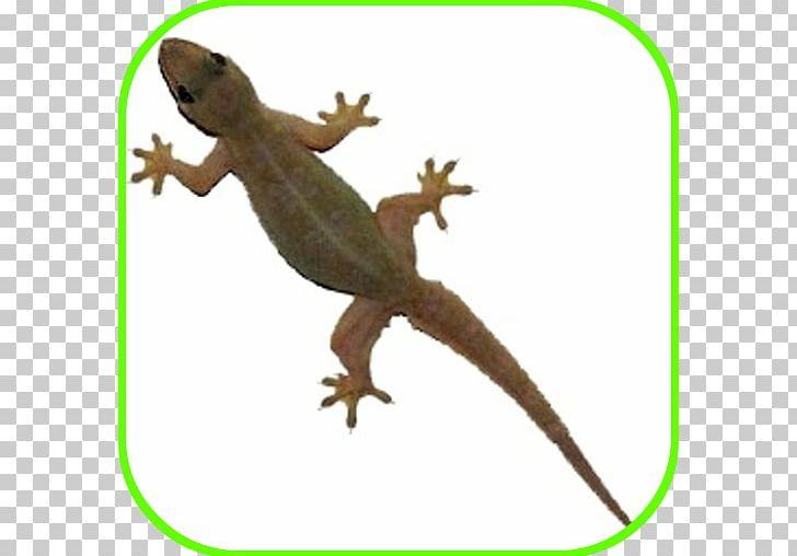 Philippine sailfin common reptile. Gecko clipart house lizard