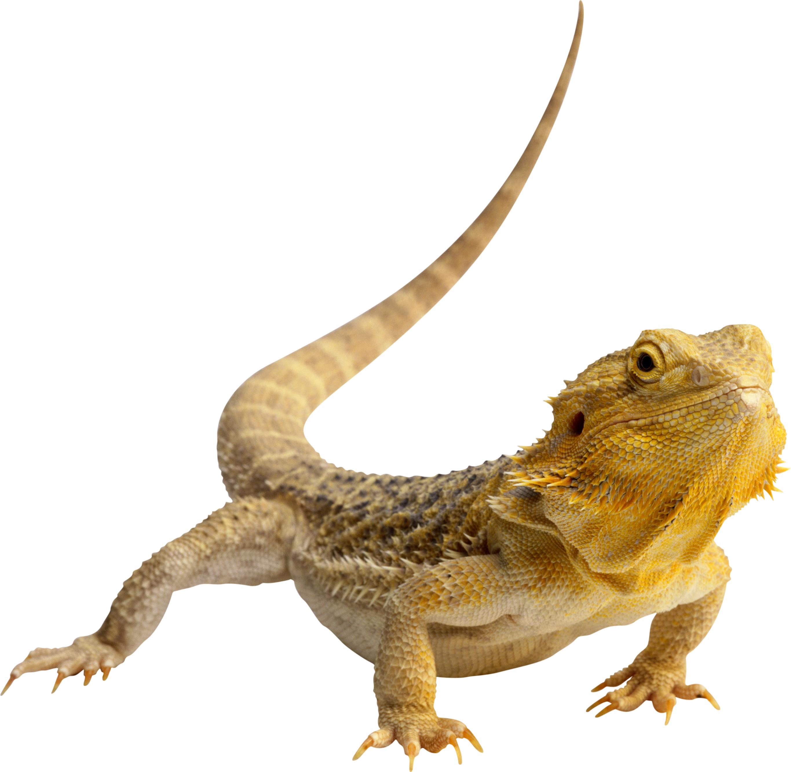 Central bearded dragon lizard. Gecko clipart iguana