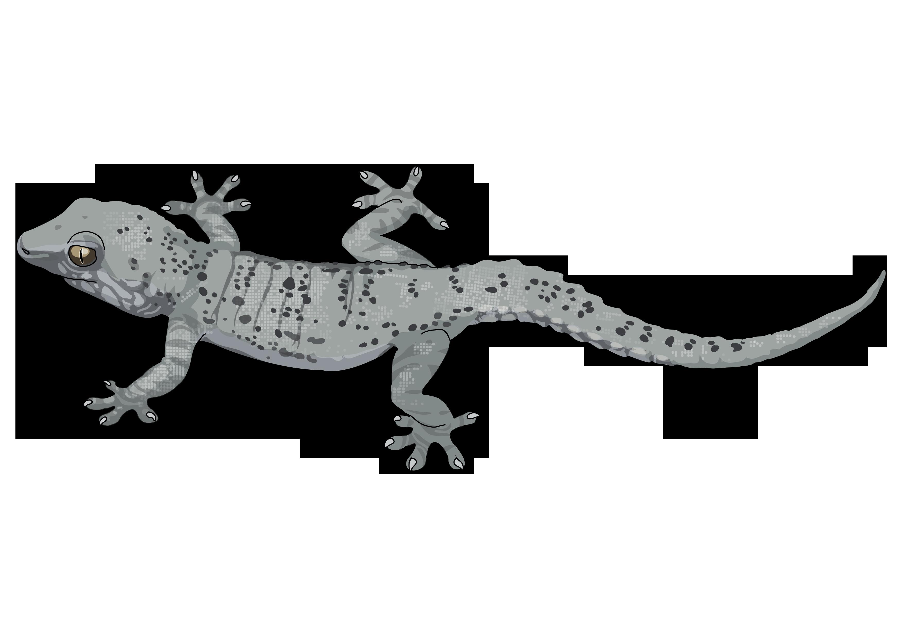 perenquen comun png. Gecko clipart lagartija