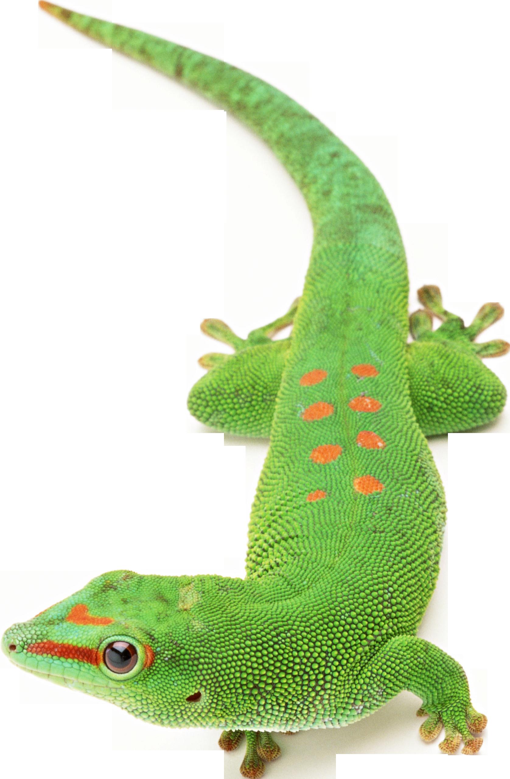 Lizard png . Gecko clipart transparent background