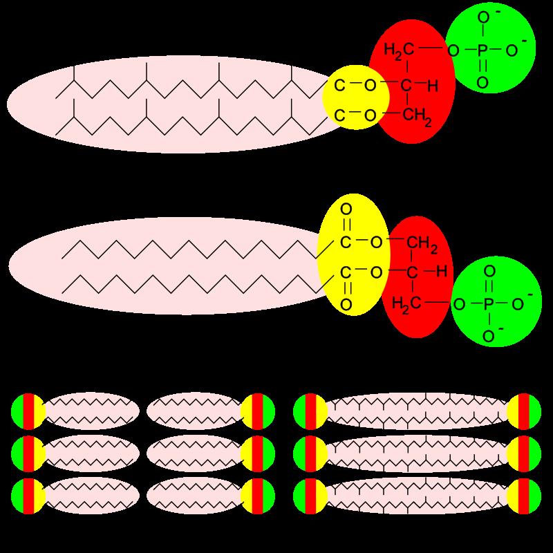Membrane structures top an. Germ clipart archaea