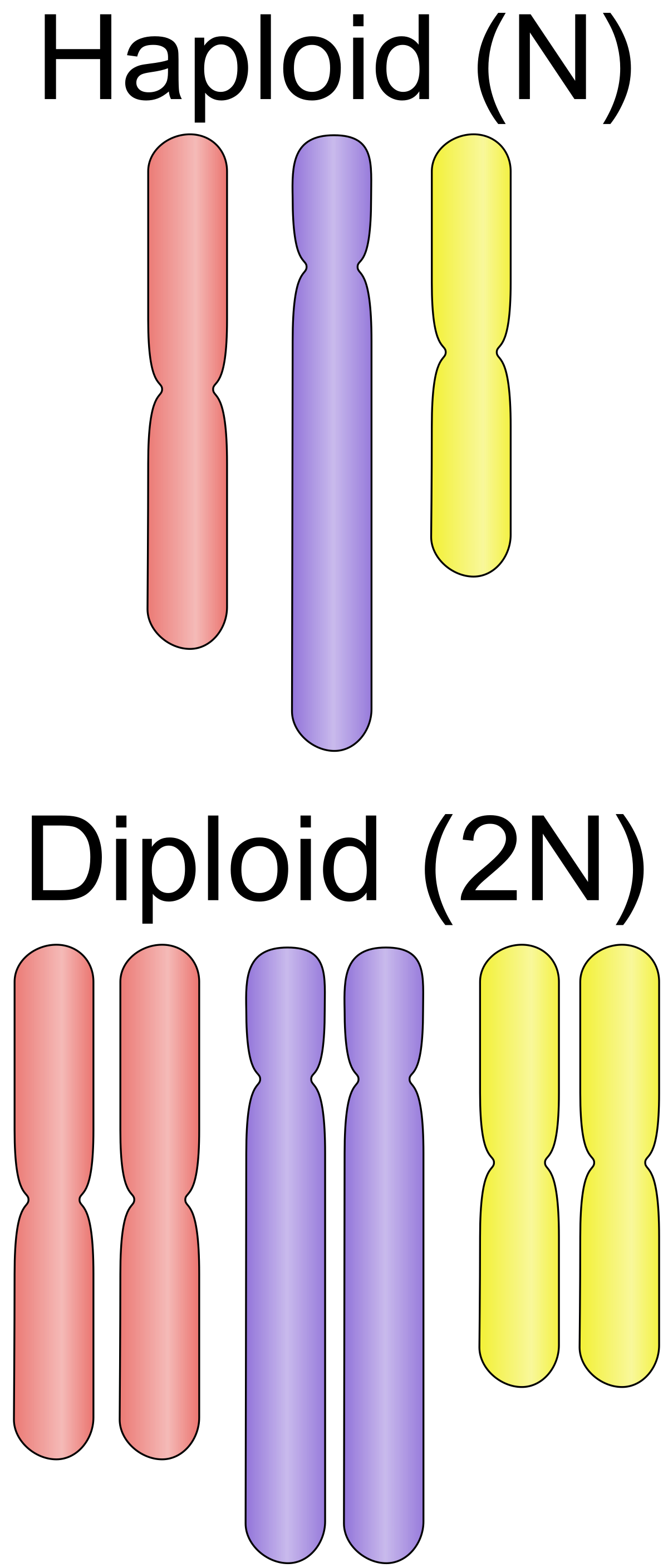 Germ clipart cell biology. Ploidy wikipedia