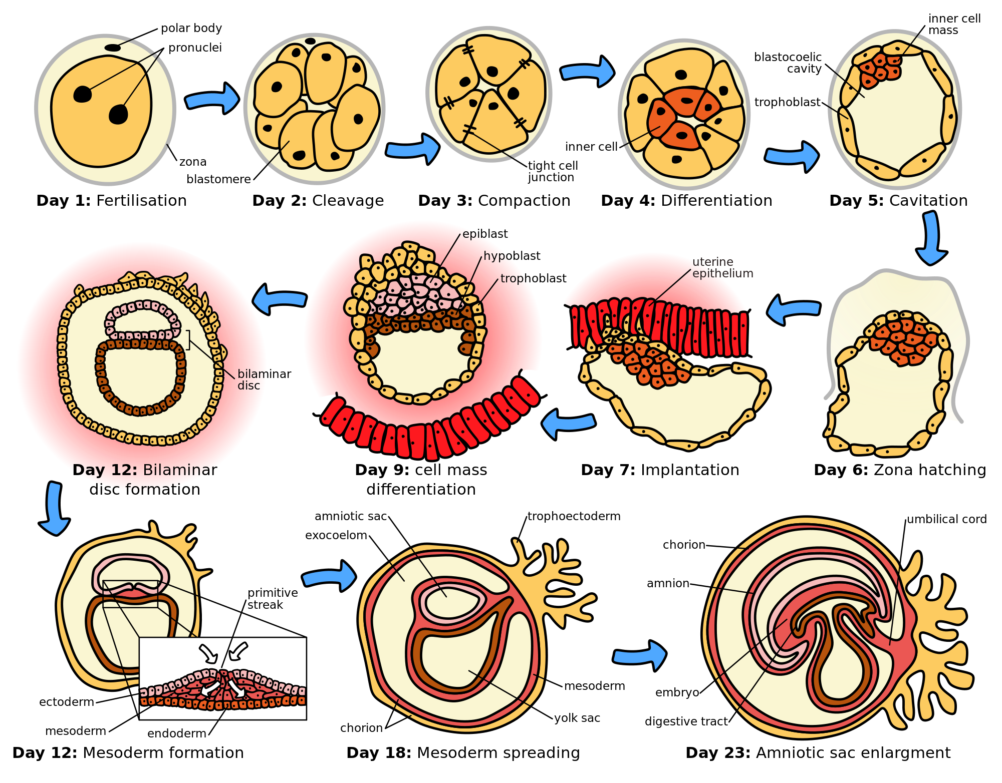 Pin by benz c. Germ clipart cell biology