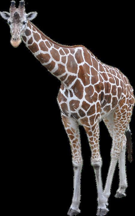 Giraffe clipart adaptation. Icon png web icons
