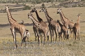Of giraffes images and. Giraffe clipart group giraffe