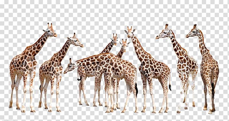 Giraffes illustration wall decal. Giraffe clipart group giraffe