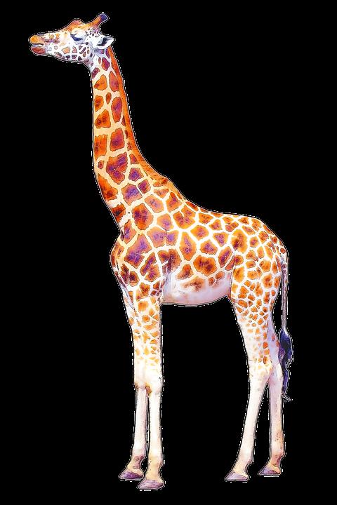 Hd png transparent images. Giraffe clipart neck