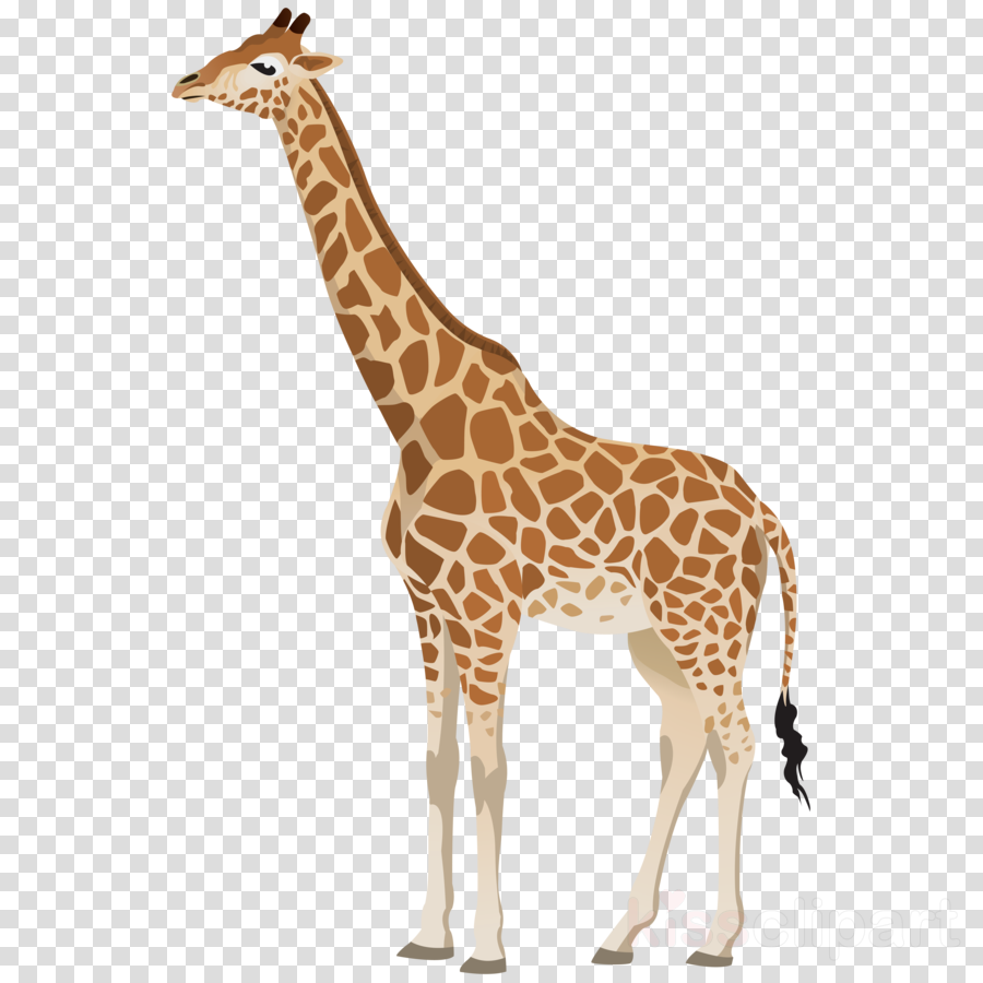 Giraffidae wildlife figure . Giraffe clipart terrestrial animal