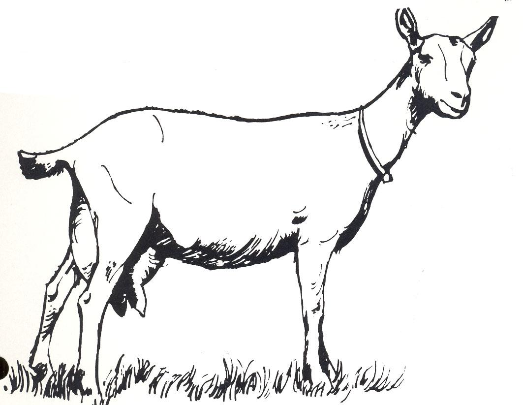 goat clipart cow