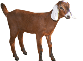 Download oats head group. Goat clipart madden mobile