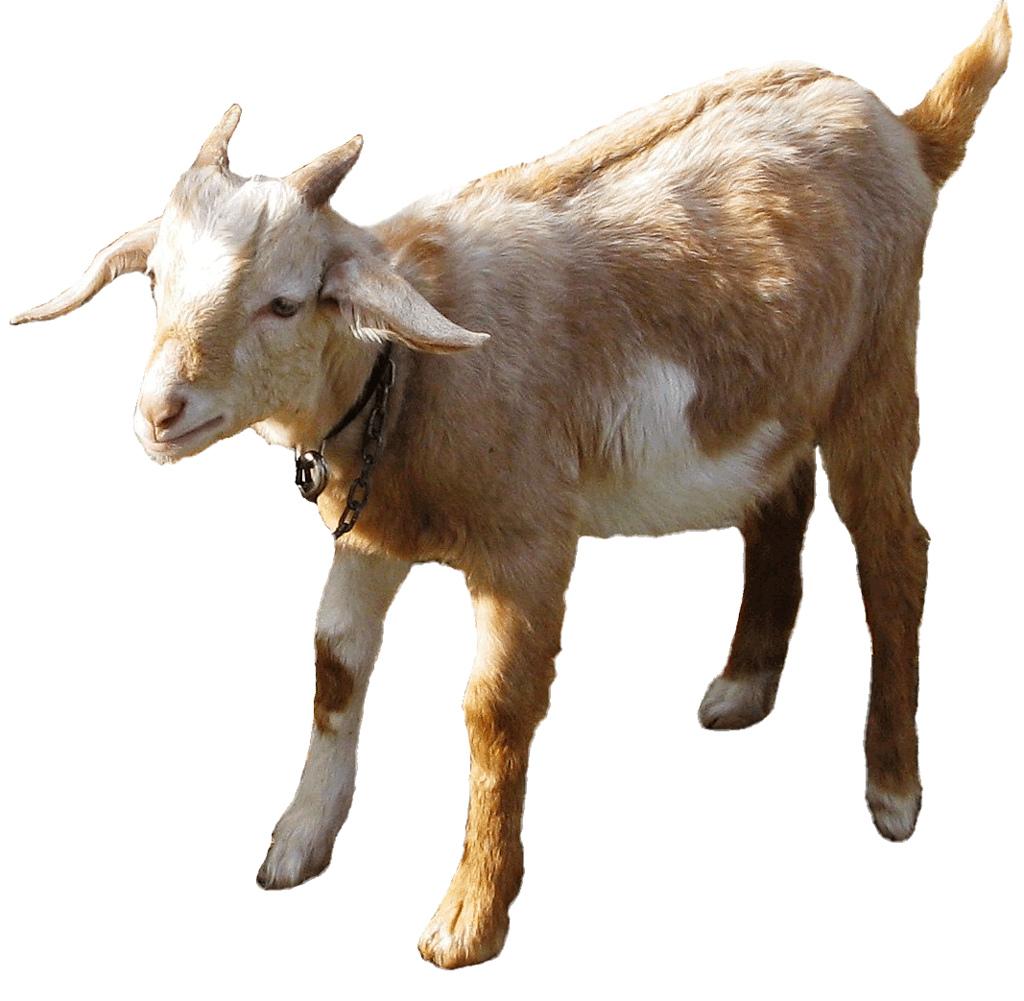 Goat clipart she goat. Free download clip art